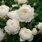 Роза Claire