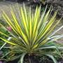 10623-Color-Guard-Yucca