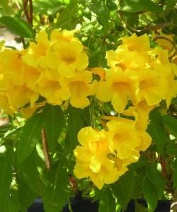 Campsis radicans. Кампсис укореняющийся. Соцветия желтого цвета