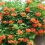 Campsis radicans. Кампсис укореняющийся. Соцветия оранжево-желтого цвета.