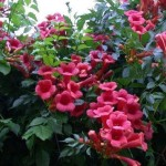 Campsis radicans. Кампсис укореняющийся. Соцветия ярко-малинового цвета