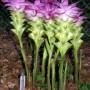 Curcuma_elata_Flowers_AD