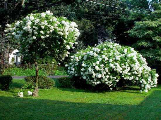 Hydrangea paniculata гортензия метельчатая grandiflora