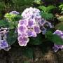 Hydrangea macrophylla BICOLOR « Bavaria». Гортензия крупнолистная Бавария.3