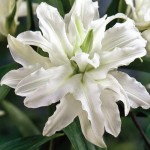 Лилия махровая «Светлейший Ангел».Double Oriental Lily Serene Ange
