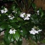 Эухарис-крупноцветковый-eucharis-grandiflora.-1
