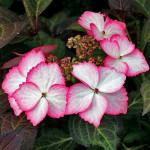 Hydrangea macrophylla «DolceKiss»  (Dolkis) – гортензия крупнолистная «Dolce Kiss»2