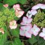 Hydrangea macrophylla «DolceKiss»  (Dolkis) – гортензия крупнолистная «Dolce Kiss»3