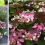 Hydrangea macrophylla «DolceKiss»  (Dolkis) – гортензия крупнолистная «Dolce Kiss»4