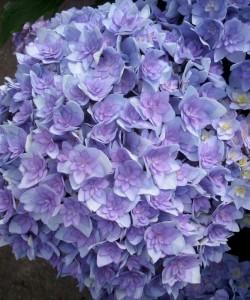 Hydrangea macrophylla Together. Гортензия крупнолистная Тугезе.