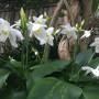 eucharis-lily_websize