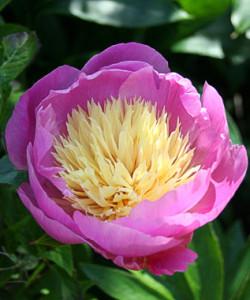 Paeonia-'Bowl-of-Beauty'_enl