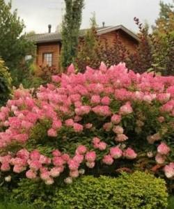Гортензия-метельчатая-Клубничная-ванильHydrangea-Paniculatа-Vanille-Fraise1