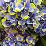 Гортензия hydrangea Magical Coral (Blue)