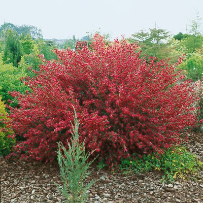 Cytisus boskoop ruby