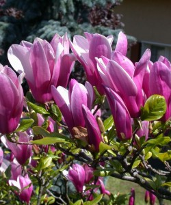 1410354291_magnoliya-george-henri-kern