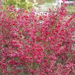 270-cytisus-scoparius-roter-favorit