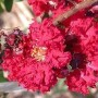 300px-Crepe_Myrtle,_Crape_Myrtle_'Dynamite'_(Lagerstroemia_indica)