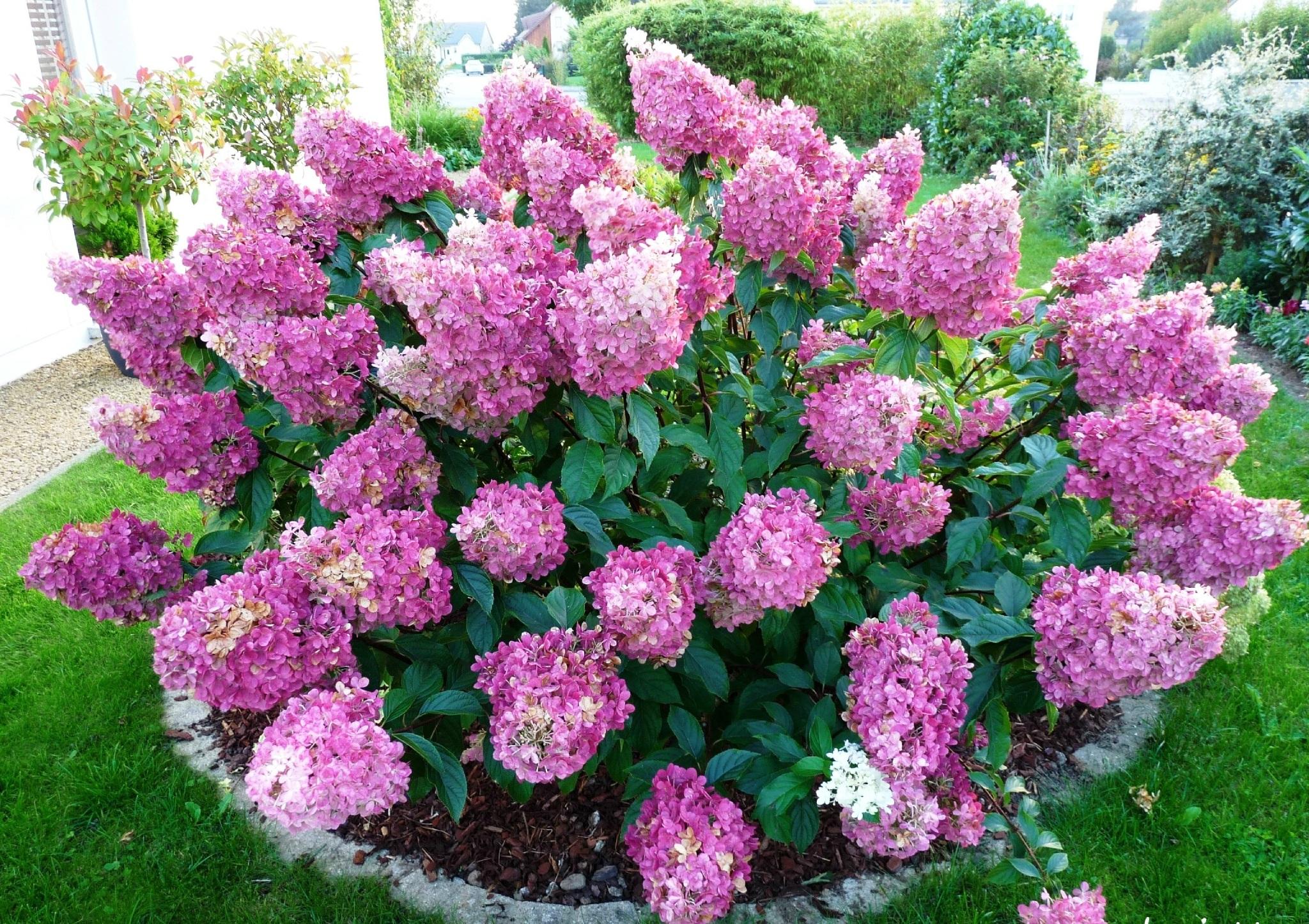 Hydrangea paniculata «Sundae Fraise». Гортензия метельчатая ...