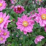 Anemone-hybrida-«Pink-Kiss»-анемона-«Pink-Kiss»