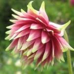 Aquilegia-Nora-Barlow- Аквилегия розовая махровая Nora-Barlow1