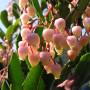 Arbutus andrachne – Арбутус – Zemlyanichnoe derevo-Земляничное дерево - Земляничник
