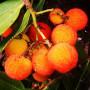 Arbutus andrachne – Арбутус – Zemlyanichnoe derevo-Земляничное дерево - Земляничник4