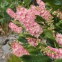 Clethra alnifolia «Ruby spice» - Клетра  ольхолистная «Ruby spice». 1