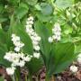 Convallaria majalis Prolificans - Ландыш майский махровый Пролификанс1
