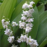 Convallaria majalis Prolificans - Ландыш майский махровый Пролификанс2