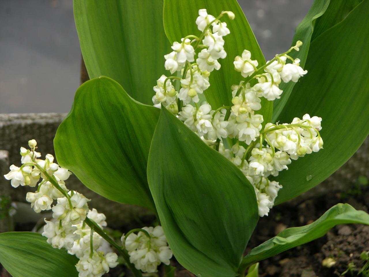 Convallaria majalis prolificans ландыш майский