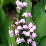 Convallaria-majalis-rosea-ландыш майский розовый1