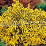 Cytisus Cytisus Golden Sunlight -Ракитник Cytisus Golden Sunlight0