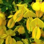 Cytisus Cytisus Golden Sunlight -Ракитник Cytisus Golden Sunlight