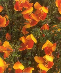 Cytisus Queen Mary-Ракитник Queen Mary.1