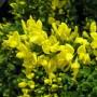 Cytisus decumbens-Ракитник decumbens1