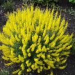 Cytisus nigricans Cyni-Ракитник nigricans Cyni2