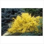 Cytisus praecox Allgold-Ракитник Allgold3