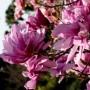 DWUBARWNA-Magnolia-Betty-DUZE-KWIATY-Sadzonki