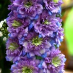 Delphinium-Highlander-®-elatum-«Blueberry-Pie»-дельфиниум-«Blueberry-Pie»