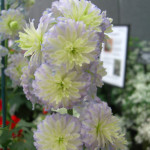 Delphinium-Highlander-®-elatum-«Moonlight»-дельфиниум-«Moonlight