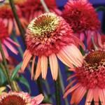 Echinacea «Irresistible» - эхинацея «Irresistible»