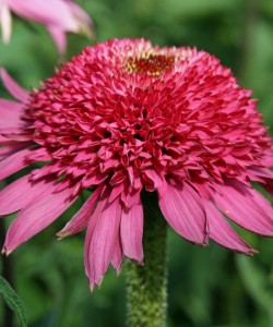 Echinacea «Katharina» – Эхинацея «Katharina»