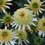 Echinacea-Butter-Cream-Aug.-11-171