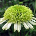 Echinacea purpurea «Honeydew» - эхинацея «Honeydew»