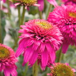 Echinacea-purpurea-«Piccolino»-эхинацея-«Piccolino»