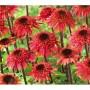 Echinacea purpurea «Raspberry Truffle» - эхинацея «Raspberry Truffle»0