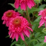 Echinacea purpurea «Secret Affair» - эхинацея «Secret Affair»