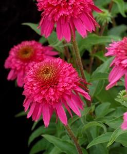 Echinacea purpurea «Secret Affair» - эхинацея «Secret Affair»