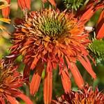 Echinacea purpurea «Summer Salsa» - эхинацея «Summer Salsa»